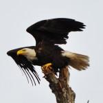 Michelle Eroche - Bald Eagle on Bayou Black